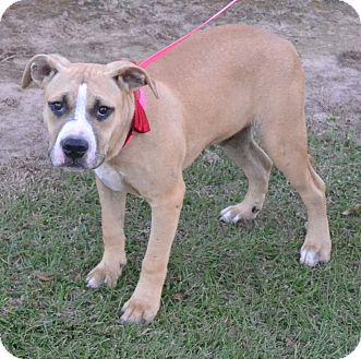 Boxer/Labrador Retriever Mix Dog for adoption in Manchester, New Hampshire - Denny - pending