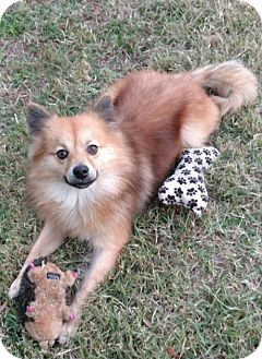 Pomeranian/Finnish Spitz Mix Dog for adoption in Oviedo, Florida - Fritz