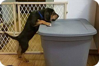 Bloodhound Mix Puppy for adoption in Fayetteville, Arkansas - Flossie