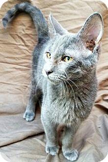 Russian Blue Cat for adoption in Aurora, Colorado - Zeus