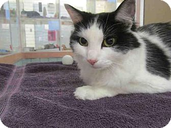 Domestic Mediumhair Cat for adoption in Springfield, Massachusetts - CHLOE