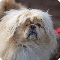 Pekingese Dog for adoption in Dearborn, Michigan - Cooper
