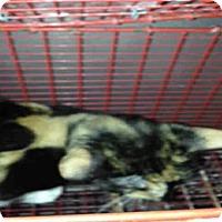 Adopt A Pet :: BARN CAT - San Antonio, TX