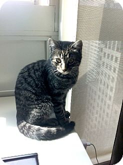 Domestic Shorthair Kitten for adoption in Brooklyn, New York - Anthony