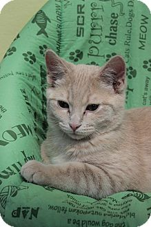 Domestic Shorthair Kitten for adoption in Byron Center, Michigan - Virgil