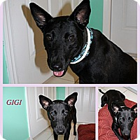 Adopt A Pet :: Gigi - hollywood, FL