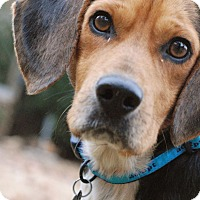 Adopt A Pet :: Huck - Knoxville, TN