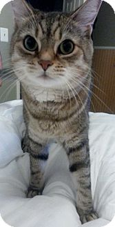 Domestic Shorthair Cat for adoption in Lutherville, Maryland - Kyle