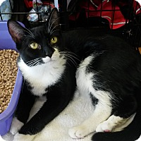 Domestic Shorthair Cat for adoption in Berkeley Hts, New Jersey - Betty