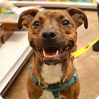 Adopt A Pet :: Carter - Newtown, CT
