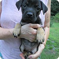 Adopt A Pet :: Naya - Williston Park, NY