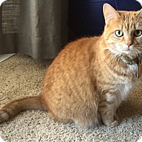 Domestic Shorthair Cat for adoption in Lincoln, Nebraska - Layla