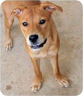 Labrador Retriever/Retriever (Unknown Type) Mix Dog for adoption in Houston, Texas - Laina