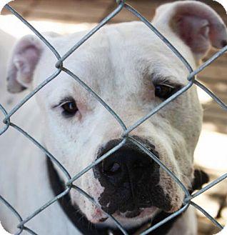 American Bulldog/Labrador Retriever Mix Dog for adoption in Cleveland, Texas - Buster