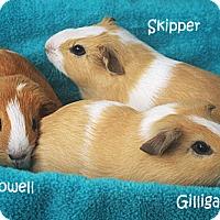 Adopt A Pet :: Gilligan, Skipper & Howell - Santa Barbara, CA