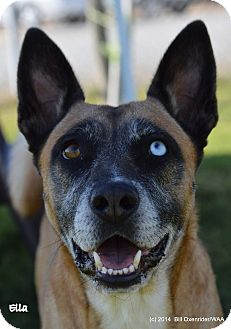 Cattle Dog/German Shepherd Dog Mix Dog for adoption in Patterson, California - Ella