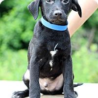 Adopt A Pet :: Atlas - Waldorf, MD