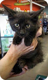 Domestic Mediumhair Kitten for adoption in Denver, Colorado - Cat-Nonan