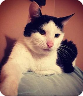 Domestic Shorthair Cat for adoption in Indianapolis, Indiana - Tinker Bell