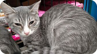 Domestic Shorthair Cat for adoption in San Marcos, Texas - Miss Gray