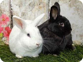 Havana Mix for adoption in Encinitas, California - Bonnie & Clyde (Bonded Pair)