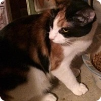 Calico Cat for adoption in Newnan, Georgia - Kona