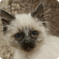Siamese Kitten for adoption in Great Falls, Montana - Dudley