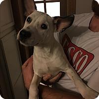 Adopt A Pet :: Dax - Westminster, CO