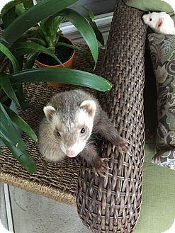 Ferret for adoption in Paramus, New Jersey - Miko