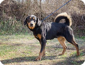 German Shepherd Dog/Shepherd (Unknown Type) Mix Dog for adoption in Bristol, Tennessee - Lenny