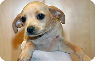 Chihuahua Mix Puppy for adoption in Wildomar, California - 320285