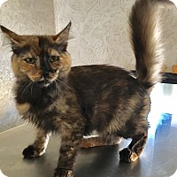 Domestic Mediumhair Kitten for adoption in Oakdale, California - Padme