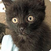 Adopt A Pet :: Hershey Kiss - Troy, MI