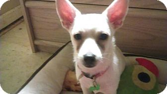 Chihuahua Mix Dog for adoption in Royal Palm Beach, Florida - Tiny