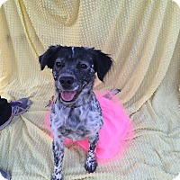 Spaniel (Unknown Type)/Blue Heeler Mix Dog for adoption in Salisbury, North Carolina - Sassafras