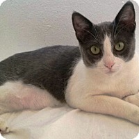 Domestic Shorthair Cat for adoption in Orange, California - Bella