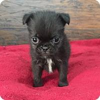 Adopt A Pet :: Monkey - Los Angeles, CA