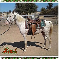 Appaloosa/Quarterhorse Mix for adoption in Newcastle, California - Stitch