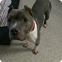 Adopt A Pet :: Blue - Pompton Lakes, NJ