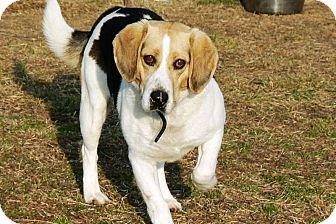 Beagle Dog for adoption in Ridgely, Maryland - Cranberry