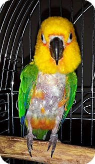 Conure for adoption in Shawnee Mission, Kansas - Lucky
