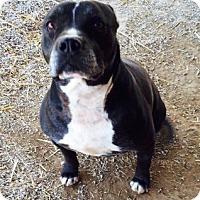 Adopt A Pet :: Tough Guy - Farmingtoon, MO