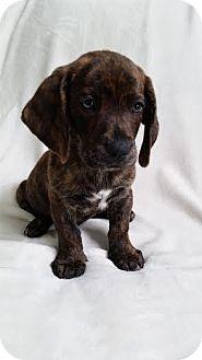 Basset Hound Mix Puppy for adoption in Cincinnati, Ohio - Duke