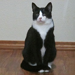 Photo 4 - Domestic Shorthair Cat for adoption in Kelso/Longview, Washington - Ellie