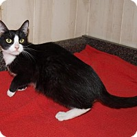 Domestic Mediumhair Cat for adoption in Jackson, Mississippi - Sylvia