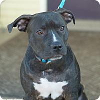 Adopt A Pet :: Blue - Knoxville, TN
