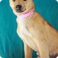 Adopt A Pet :: Corkie - Waldorf, MD