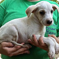 Adopt A Pet :: Linus - Starkville, MS