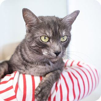 Domestic Shorthair Cat for adoption in Montclair, California - Brea