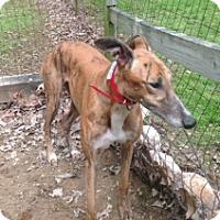 Adopt A Pet :: Magic Sheirka - Gerrardstown, WV